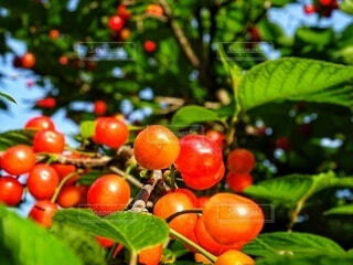 収穫シーズンのサクランボの写真・画像素材[4322298]