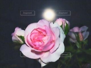 花,夜,夜空,ピンク,バラ,薔薇,月,満月,ローズ,5月,rose,full moon,草木,May,フラワームーン,Flower moon
