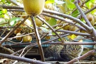 猫,動物,屋外,緑,果物,座る,キウイ,果実,野良猫,cat,キャット,見つめる,キウイフルーツ,Kiwi fruit