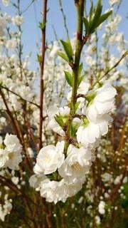 花,白,白い花,花桃,草木,若木,ブロッサム,世代交代,次世代,バトンタッチ,花桃の木,若い世代,若い木,孫木