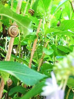 雨,屋外,緑,あじさい,葉,紫陽花,虫,茎,隠れる,たくさん,生物,雨上がり,かくれんぼ,生き物,梅雨,6月,カタツムリ,日陰,Hydrangea,草木,多い,複数,蝸牛,アジサイ,かたつむり,snailes