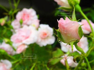 雨に濡れる薔薇の蕾の写真・画像素材[4339899]