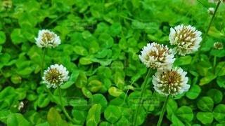 花,春,屋外,緑,草,白い花,クローバー,シロツメクサ,白詰草,草木,clover,ガーデン,三葉,フローラ,White Clover