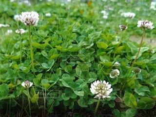 風景,花,春,屋外,緑,草,白い花,草花,クローバー,シロツメクサ,白詰草,草木,clover,フローラ,White Clover