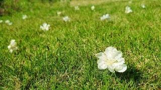 花,春,芝生,屋外,緑,景色,草,白い花,初夏,芝,花桃,草木,4月,grass,舞い落ちた,零れ落ち,散り時,lawn