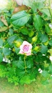 花,春,屋外,ピンク,緑,バラ,草,薔薇,ピンクの花,蕾,ローズ,rose,真上,草木,正面,フロリバンダ,ハイブリッドティーローズ