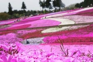 羊山公園の芝桜の写真・画像素材[4342573]