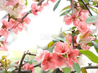 花,春,ピンク,満開,日の光,逆光,フレーム,flower,ボケ,草木,3月,木瓜,4月,枠,ぼけ,囲む,frame,バラ科,木瓜の花,花の枠,Japanese quince,花枠