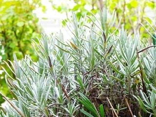 春,緑,葉,ラベンダー,見上げる,グリーン,ハーブ,若葉,Green,草木,HARBS,lavender,ラベンダーの葉