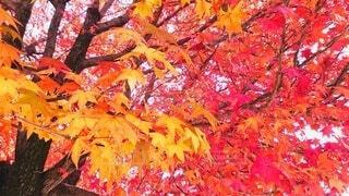 風景,公園,秋,紅葉,赤,葉,鮮やか,樹木,オレンジ色,グラデーション,黄,真っ赤,草木,カエデ,橙色,autumn leaves,燃えるような,autumn foliage,炎のような,燃え盛る炎のような