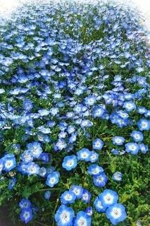 公園,花,春,緑,青,フラワー,散歩,青い花,草花,道端,植木,ブルー,ネモフィラ,flower,blue,草木,Spring,道路沿い,Nemophila