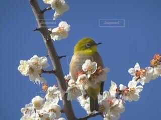 梅の枝にとまるメジロの写真・画像素材[4354012]