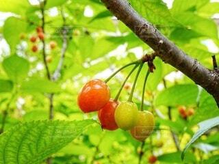 食べ物,屋外,緑,赤,樹木,さくらんぼ,チェリー,cherry,桜ん坊,サクランボ,果樹