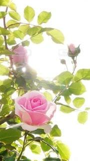 花,屋外,ピンク,朝日,緑,綺麗,晴れ,バラ,光,薔薇,見上げる,つぼみ,逆光,眩しい,朝,蕾,ローズ,rose,ふんわり,後光,草木,sunny,ばら,透け