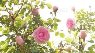 花,春,屋内,ピンク,朝日,緑,花束,綺麗,バラ,薔薇,つぼみ,逆光,眩しい,たくさん,蕾,ローズ,初夏,rose,風物詩,草木,Spring,early summer,ばら,開花,フロリバンダ,ハイブリッドティーローズ