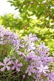 薄青紫色の芝桜&赤いサクランボの写真・画像素材[4369867]
