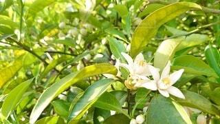 咲き進む柚子の花の写真・画像素材[4380579]
