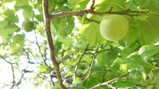 青々とした梅の実の写真・画像素材[4380613]