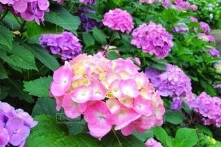 紫陽花が咲く雨上がりの公園の写真・画像素材[4386558]
