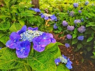 アジサイ咲く雨上がりの公園の写真・画像素材[4386559]