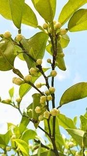 空を背景にした柚子の蕾の写真・画像素材[4386571]