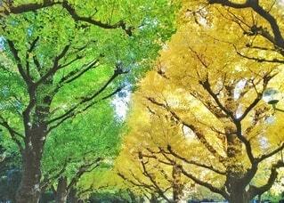 神宮外苑の銀杏並木の写真・画像素材[4388472]