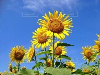 青空を見上げる向日葵たちの写真・画像素材[4392119]