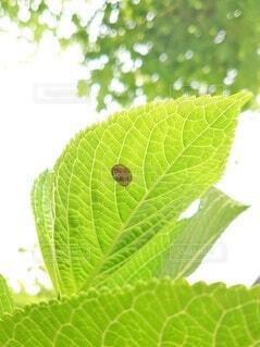 紫陽花の葉と小さなカタツムリの写真・画像素材[4408169]