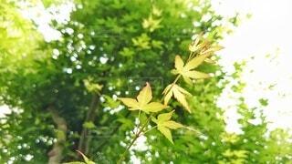 イロハモミジの青葉 (横長版)の写真・画像素材[4408339]