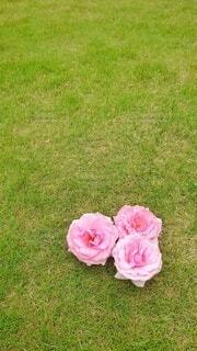 芝生の上の薔薇の花3つ(縦長版)の写真・画像素材[4408463]