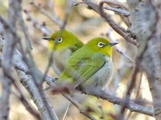 緑色のハート型ポーズのメジロたちの写真・画像素材[4408555]