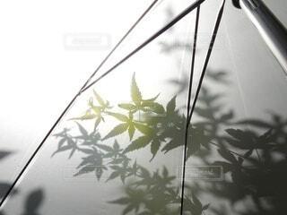 傘に映るモミジの影の写真・画像素材[4445848]