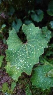 水滴を乗せた白雪芥子の葉の写真・画像素材[4464794]