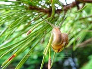 松の葉で振り返るカタツムリの写真・画像素材[4465062]