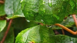 キウイの葉と雨雫の写真・画像素材[4500377]