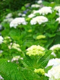 雨の日の白い紫陽花たちの写真・画像素材[4530157]