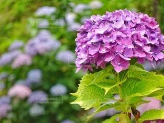 色とりどりの紫陽花の写真・画像素材[4556790]
