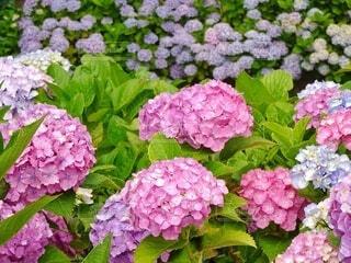 紫陽花を見下ろす紫陽花の写真・画像素材[4556791]