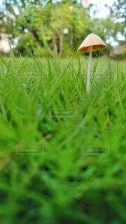 芝生のクローズアップとキノコの写真・画像素材[4606827]
