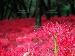曼珠沙華の群生地の写真・画像素材[4615624]