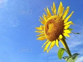 青空を見上げる向日葵の写真・画像素材[4657276]