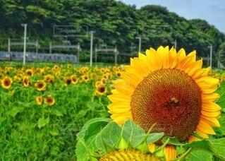 向日葵畑と電車の写真・画像素材[4662689]