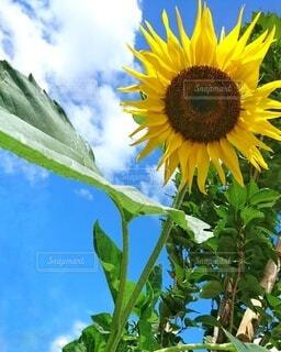 街路樹と向日葵の写真・画像素材[4672914]