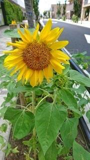 街中の向日葵の写真・画像素材[4692675]