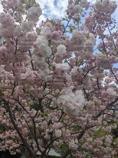花,ピンク,樹木,草木,桜の花,さくら,ブロッサム