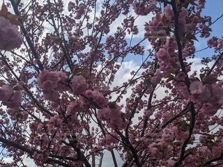 空,花,屋外,赤,樹木,草木,桜の花,さくら,ブルーム,ブロッサム