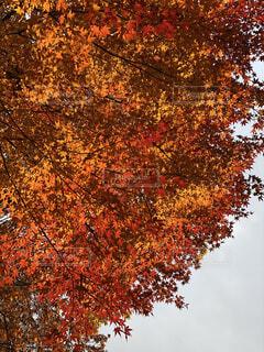紅葉,屋外,赤,葉っぱ,黄色,葉,オレンジ,樹木,草木,カエデ