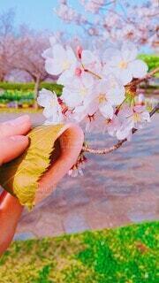花,桜,屋外,手,人物,人,花より団子,さくら餅