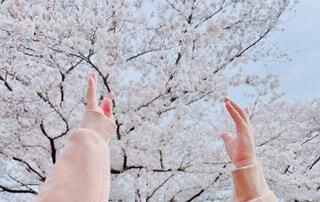 子ども,風景,空,花,春,木,屋外,ピンク,手,花見,樹木,明るい,桜の花,さくら,咲く,ブロッサム