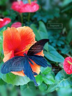 花,屋外,緑,赤,黒,葉,オレンジ,昆虫,蝶,橙,草木,ズーム